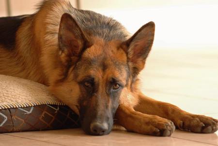 Hexi the German Shepherd Pictures 521259