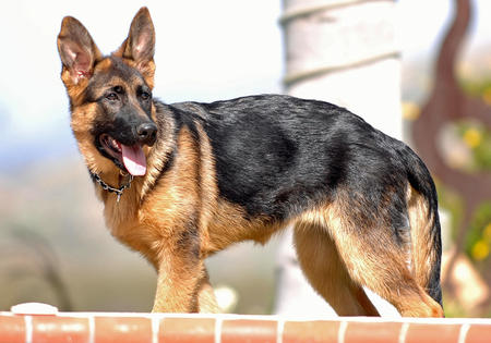 Hexi the German Shepherd Pictures 521261