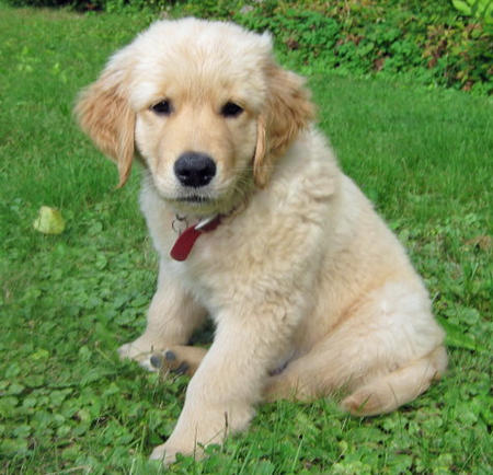 Hezekiah the Golden Retriever Pictures 483954