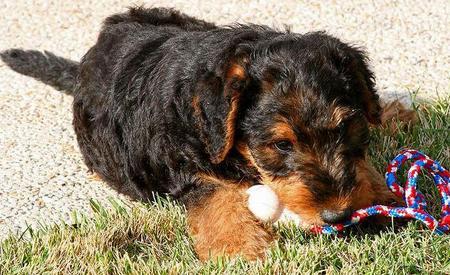 Higgins the Airedale Terrier Pictures 743474
