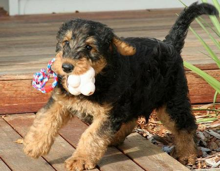 Higgins the Airedale Terrier Pictures 743475