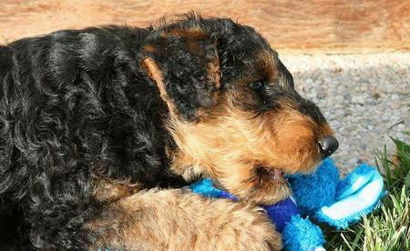 Higgins the Airedale Terrier Pictures 743476