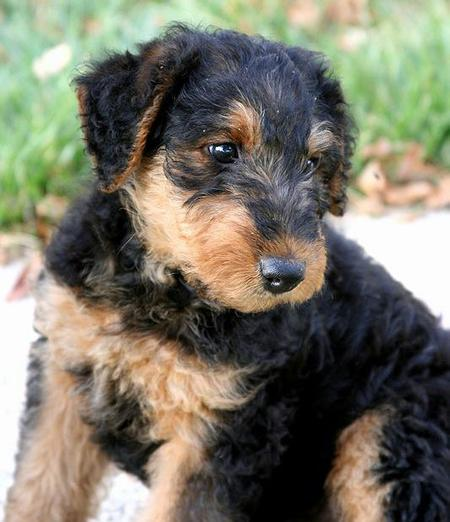 Higgins the Airedale Terrier Pictures 743477