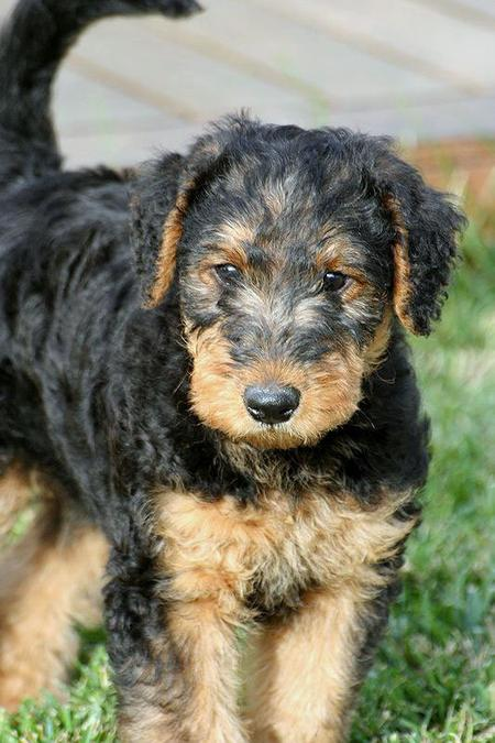 Higgins the Airedale Terrier Pictures 743473