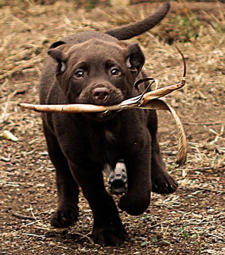 Higgins the Labrador Retriever Pictures 946157