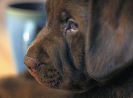 Higgins the Labrador Retriever Pictures 946162