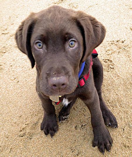 Higgins the Labrador Retriever Pictures 946156
