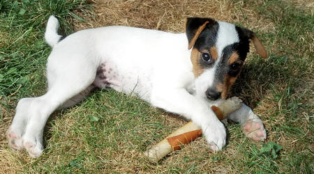 Hilo the Parson Russell Terrier Pictures 956197