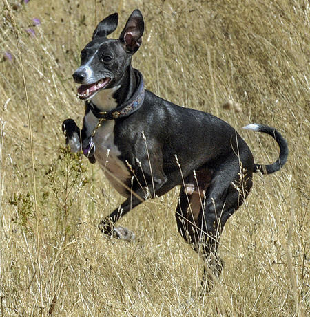 Holden the Italian Greyhound Pictures 904371