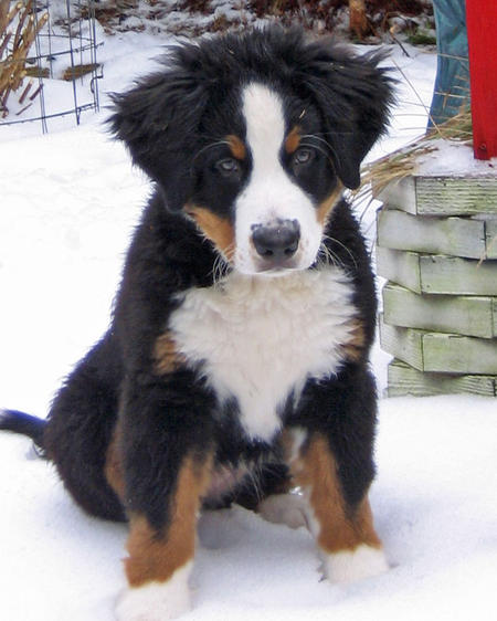 Holly the Bernese Mountain Dog Pictures 493574