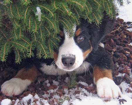 Holly the Bernese Mountain Dog Pictures 493576