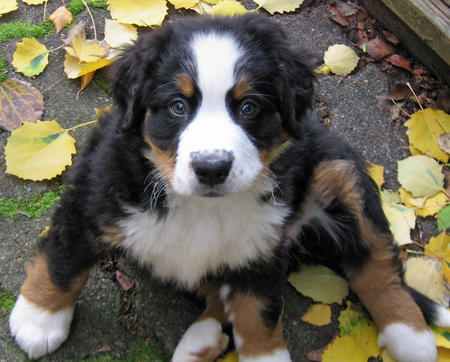 Holly the Bernese Mountain Dog Pictures 493564