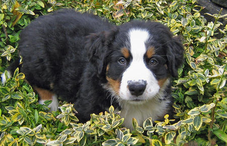 Holly the Bernese Mountain Dog Pictures 493565