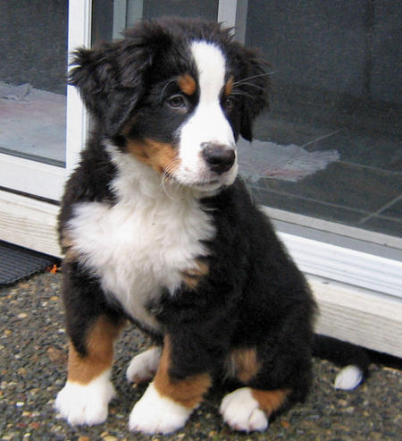 Holly the Bernese Mountain Dog Pictures 493567