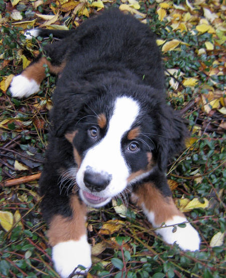 Holly the Bernese Mountain Dog Pictures 493568