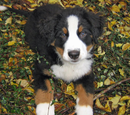 Holly the Bernese Mountain Dog Pictures 493569