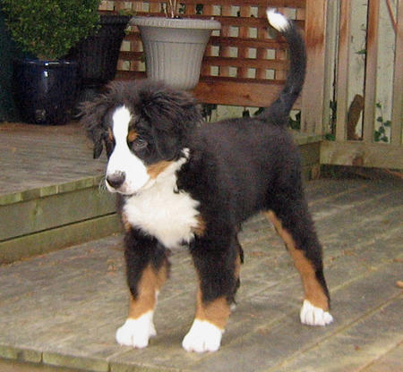 Holly the Bernese Mountain Dog Pictures 493571