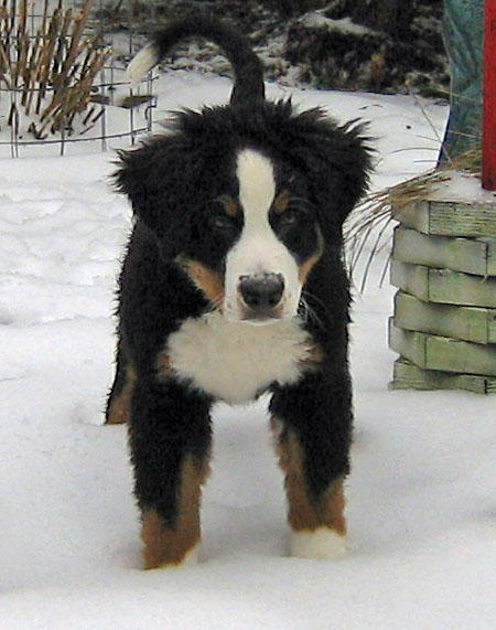Holly the Bernese Mountain Dog Pictures 493572