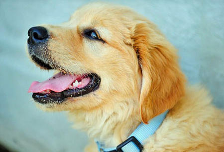 Holly the Golden Retriever Pictures 733964