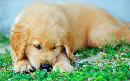 Holly the Golden Retriever Pictures 733966