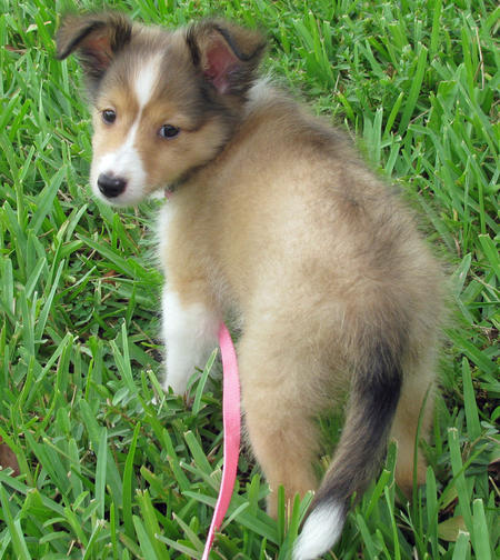 Holly the Shetland Sheepdog Pictures 837060
