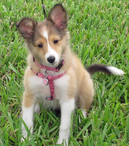 Holly the Shetland Sheepdog Pictures 837062