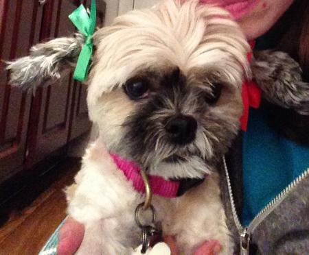 Holly the Shih Tzu Mix Pictures 1049141
