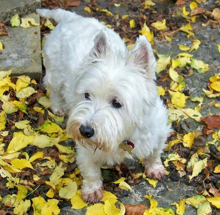 Holly the West Highland Terrier Pictures 783851
