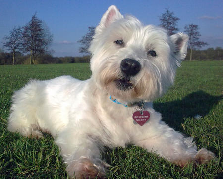 Holly the West Highland Terrier Pictures 783853
