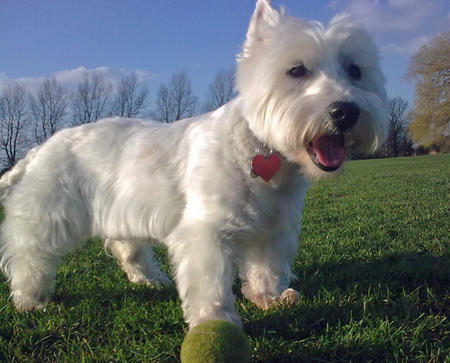 Holly the West Highland Terrier Pictures 783850