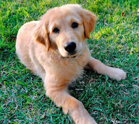 Homer the Golden Retriever Pictures 810013
