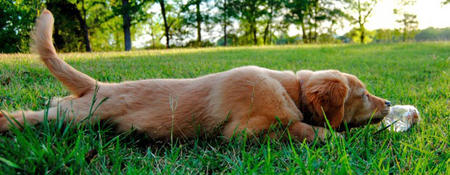 Homer the Golden Retriever Pictures 810017