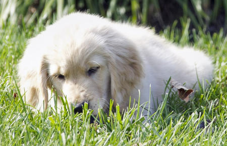 Honey the Golden Retriever Pictures 674180