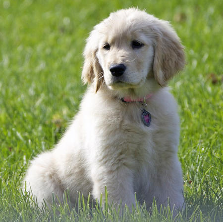 Honey the Golden Retriever Pictures 674178