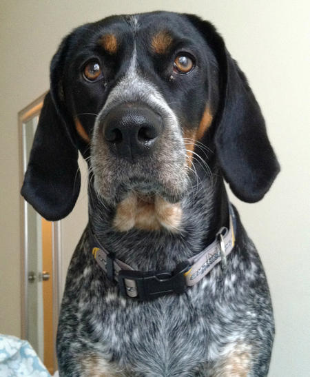 Hopson the Bluetick Coonhound Pictures 818682
