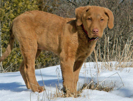 Hoss the Chesapeake Bay Retriever Pictures 1053233