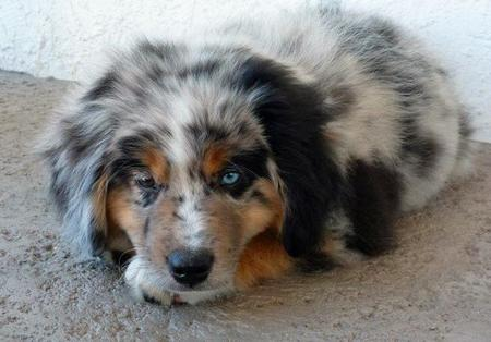 Hotch the Australian Shepherd Pictures 1052390