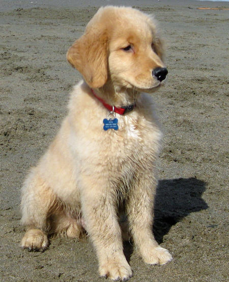 Huck the Golden Retriever Pictures 530952