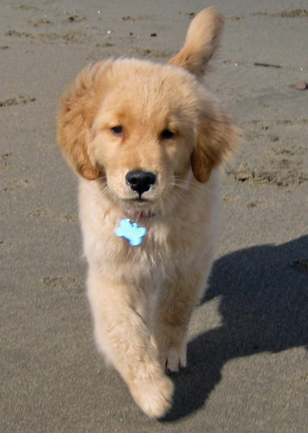 Huck the Golden Retriever Pictures 530951