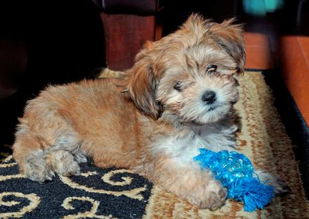 Huckleberry Finn the Havanese Mix Pictures 980607