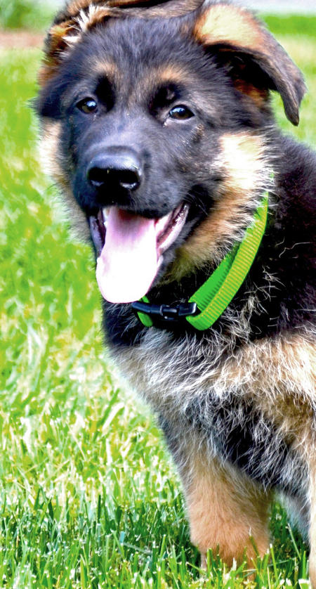 Huckleberry the German Shepherd Pictures 963175