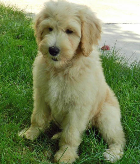 Hudson the Goldendoodle Pictures 831825