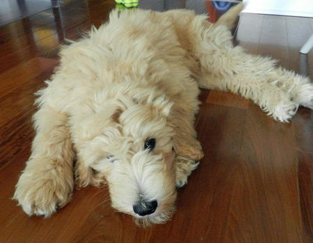 Hudson the Goldendoodle Pictures 831827