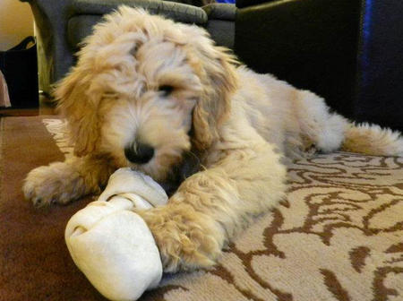 Hudson the Goldendoodle Pictures 831828