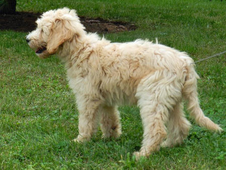 Hudson the Goldendoodle Pictures 831829