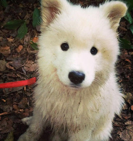 Hudson the Samoyed Pictures 596767