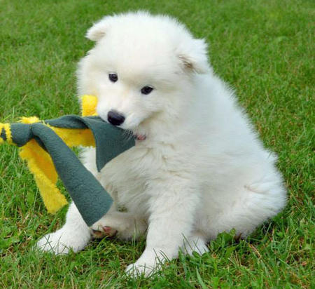 Hudson the Samoyed Pictures 596768