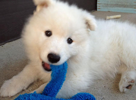 Hudson the Samoyed Pictures 596769