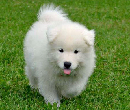 Hudson the Samoyed Pictures 596771