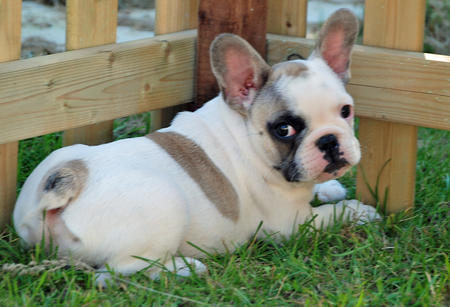 Hugo the French Bulldog Pictures 917926